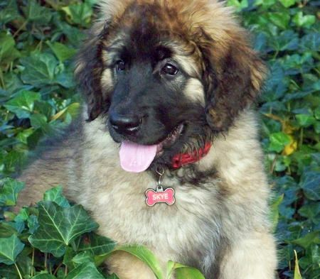 The Daiily Puppy Skye the Leonberger