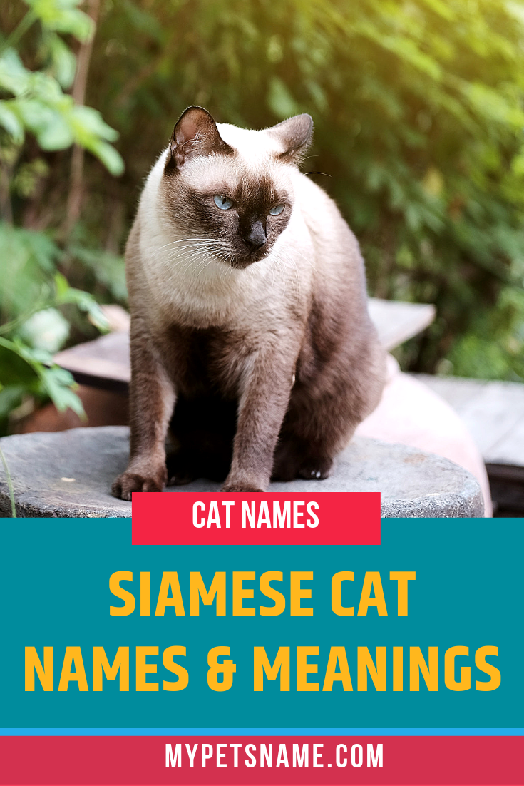 Siamese Cat Names And Meanings Siamese Cats Cat Names Kitten Names