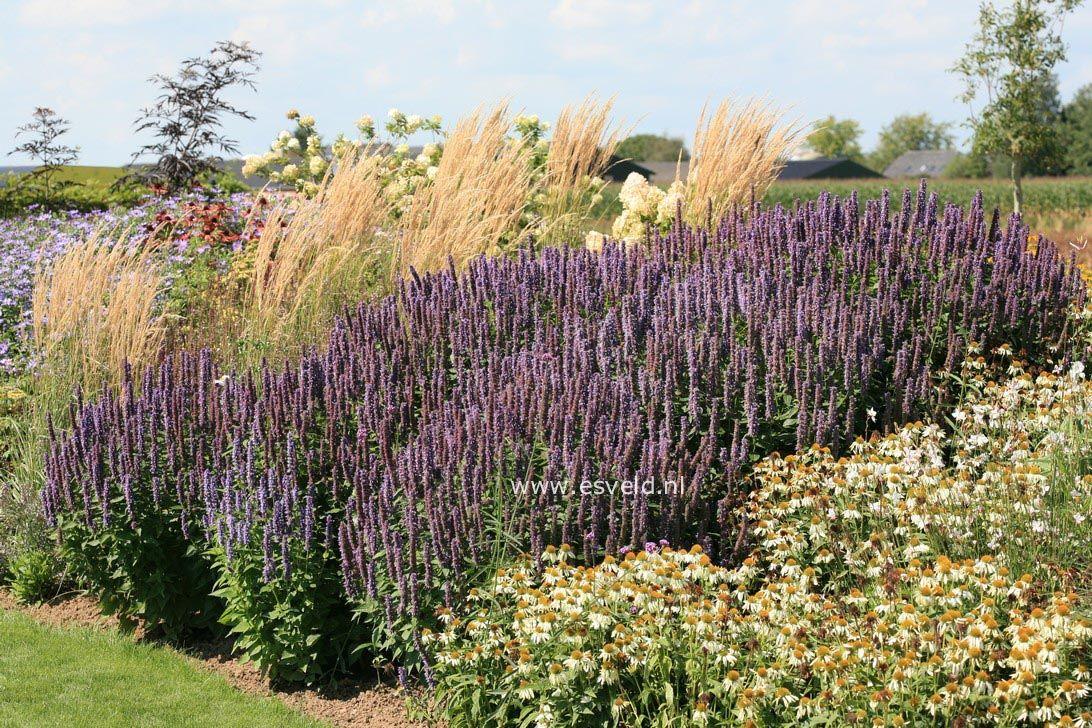Agastache Black Adder Google Search Prairie Garden Types Of Plants Perennials