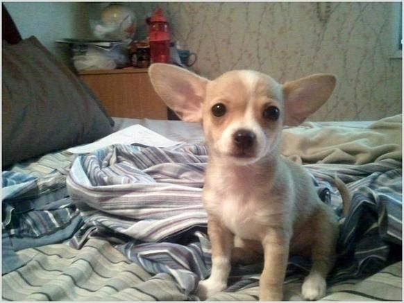 Teacup Chiweenies for sale - $350 - Grass Valley, California wow ...