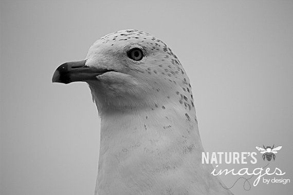 Seagull photography  Bird Photography  by NatureImagesByDesign, $30.00