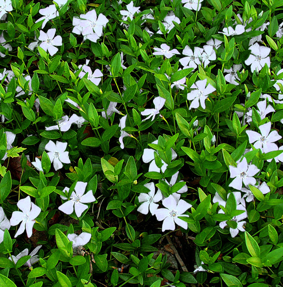Evergreen Pflanzen vinca minor alba evergreen shade ground cover to europe