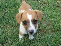 Gumtree Jackrussel Registered puppies Dog's 🐶 Gumtree