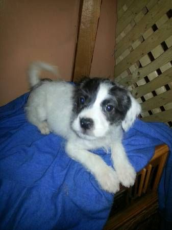 Jack Russel Mix Pup Jack Russell Fur Kids Pup