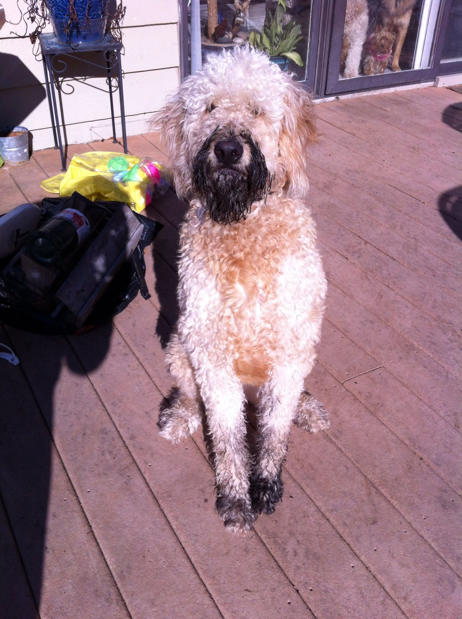 What? I love mud. Is that a problem?       That would be my doodle love Sadie.