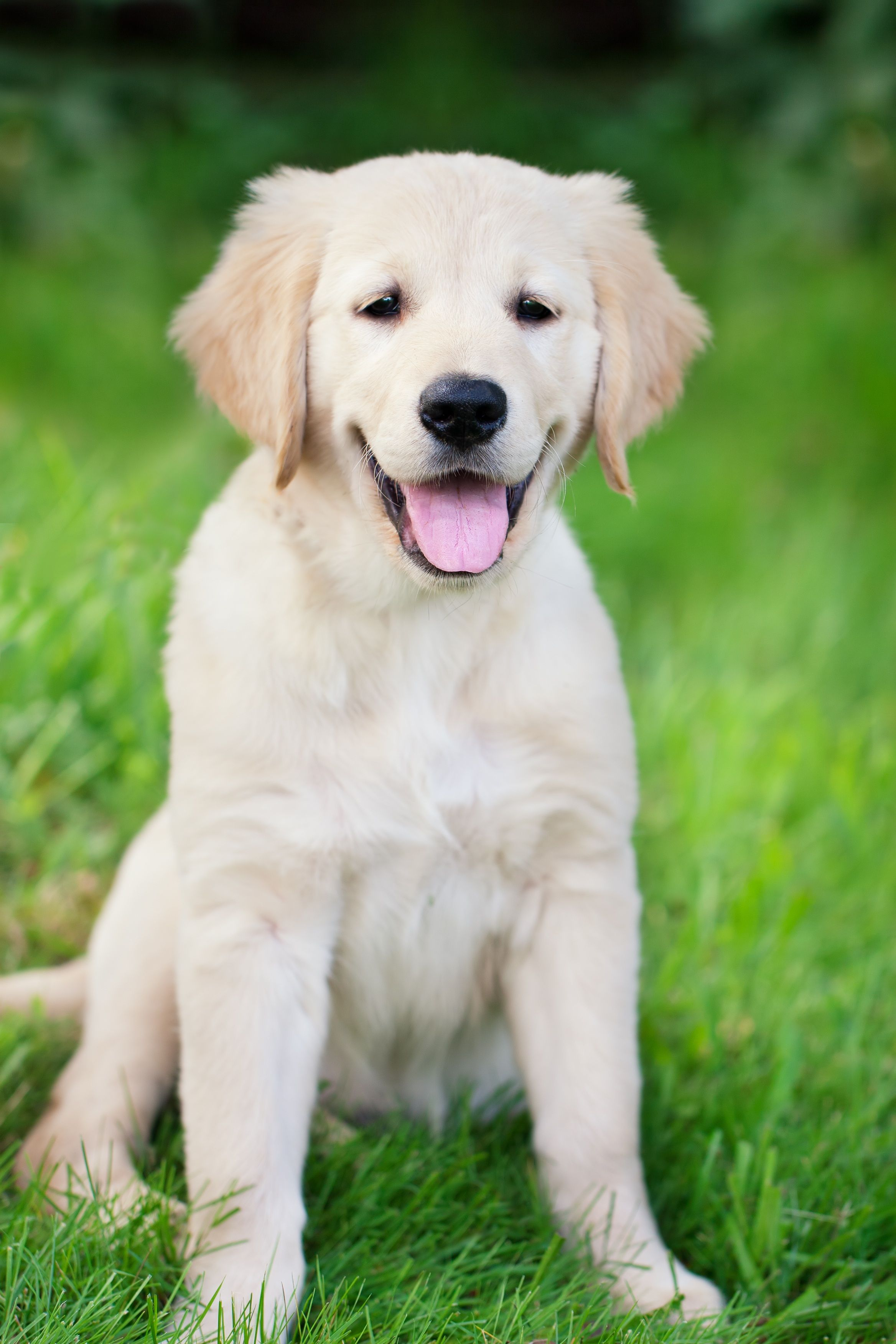 Adorable Too Cute Golden Retriever Puppies