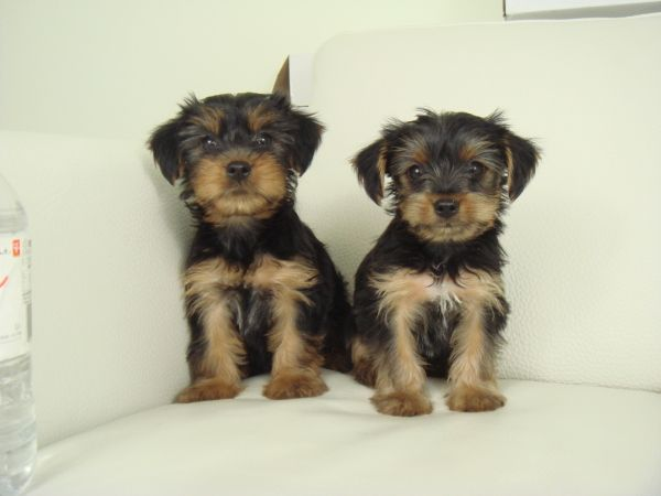 Toy Size Morkie Puppies Morkie Puppies Cute Dogs Morkie
