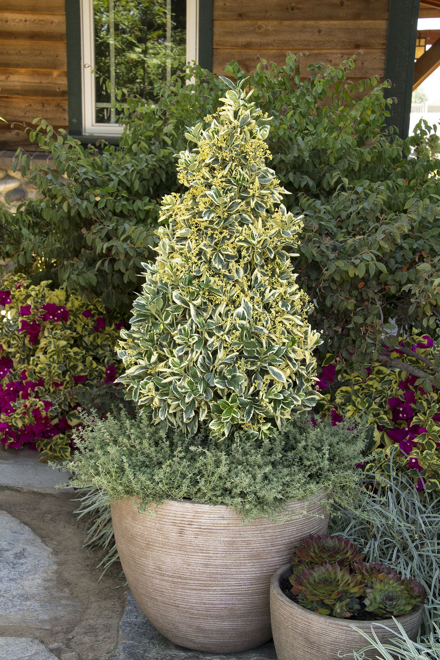 Silver King Euonymus is an excellent hedge plant with attractive