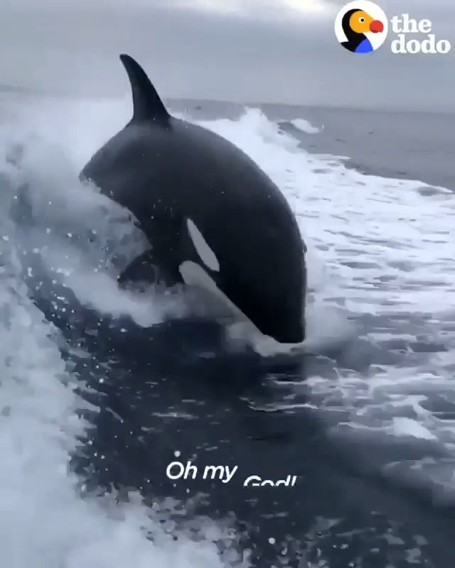 Man Filmed the live jumping of orca Whales. Please follow Animals Board for more videos