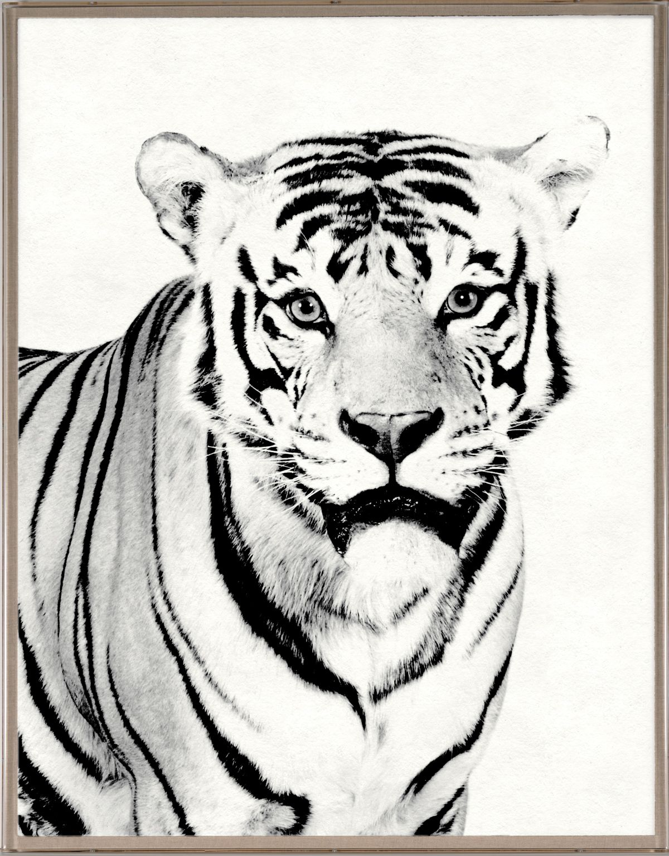 Tylinek Tiger | Natural Curiosities