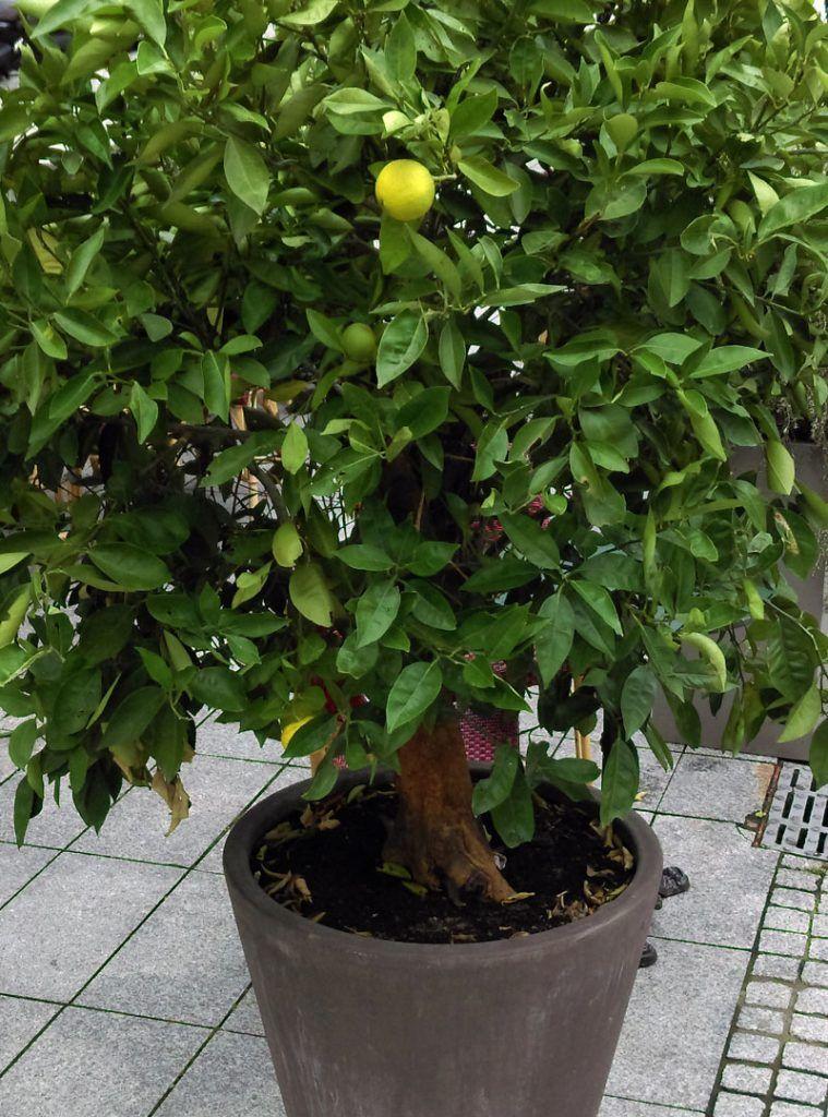 Culture Du Citron Cultiver Un Citronnier En Pot Taille Et Maladies Citronnier Cultiver Faire Germer Des Graines