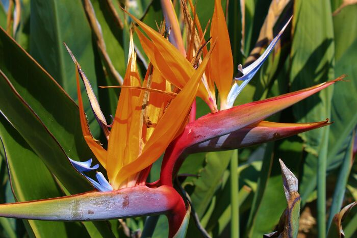 Bird Of Paradise Flower Meaning Flower Meaning Birds Of Paradise Flower Birds Of Paradise Flower Meanings