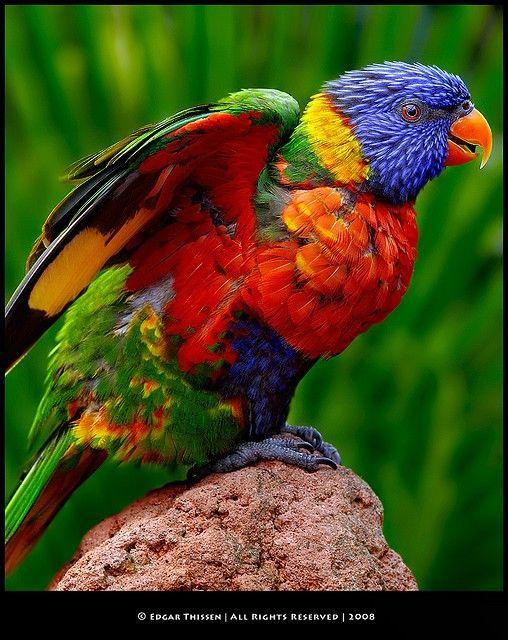 Rainbow Lorikeet Animals Beautiful Beautiful Birds Birds