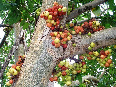 Informasi Bonsai Dan Jual Beli Bonsai Bonsai Loa Ficus Racemosa Ficus Buah Pohon Buah