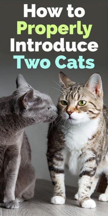 How To Properly Introduce Two Cats With Images Cats Cat Care Pets Cats