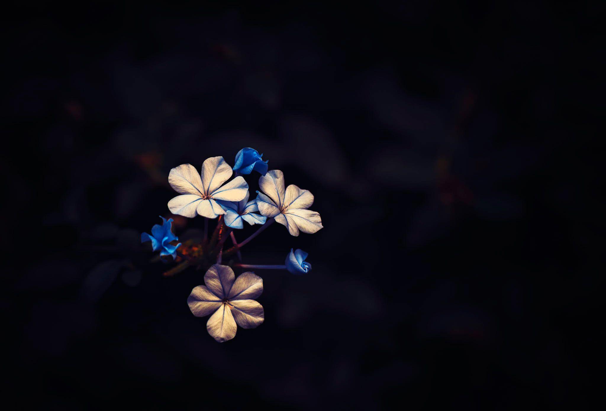 Pin By Home Decor On Flowers Blue Flower Wallpaper Black Background Wallpaper Dark Flowers