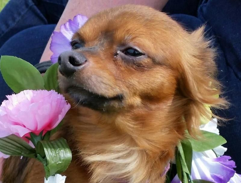 Adopt Brody on Chihuahua dogs, Dogs, Animals
