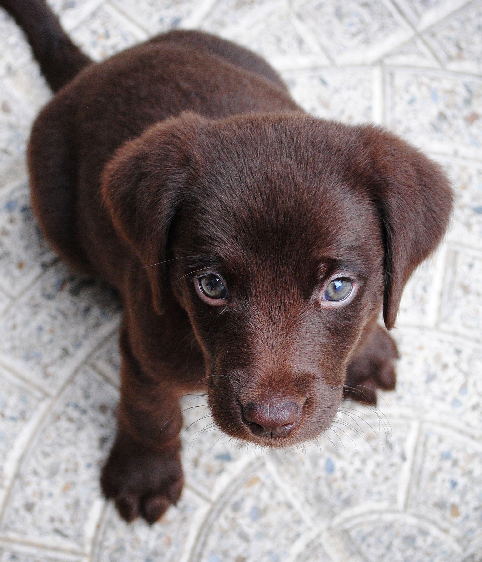 Beautiful Dog Pet Puppy Labrador Retriever Training Your Dog