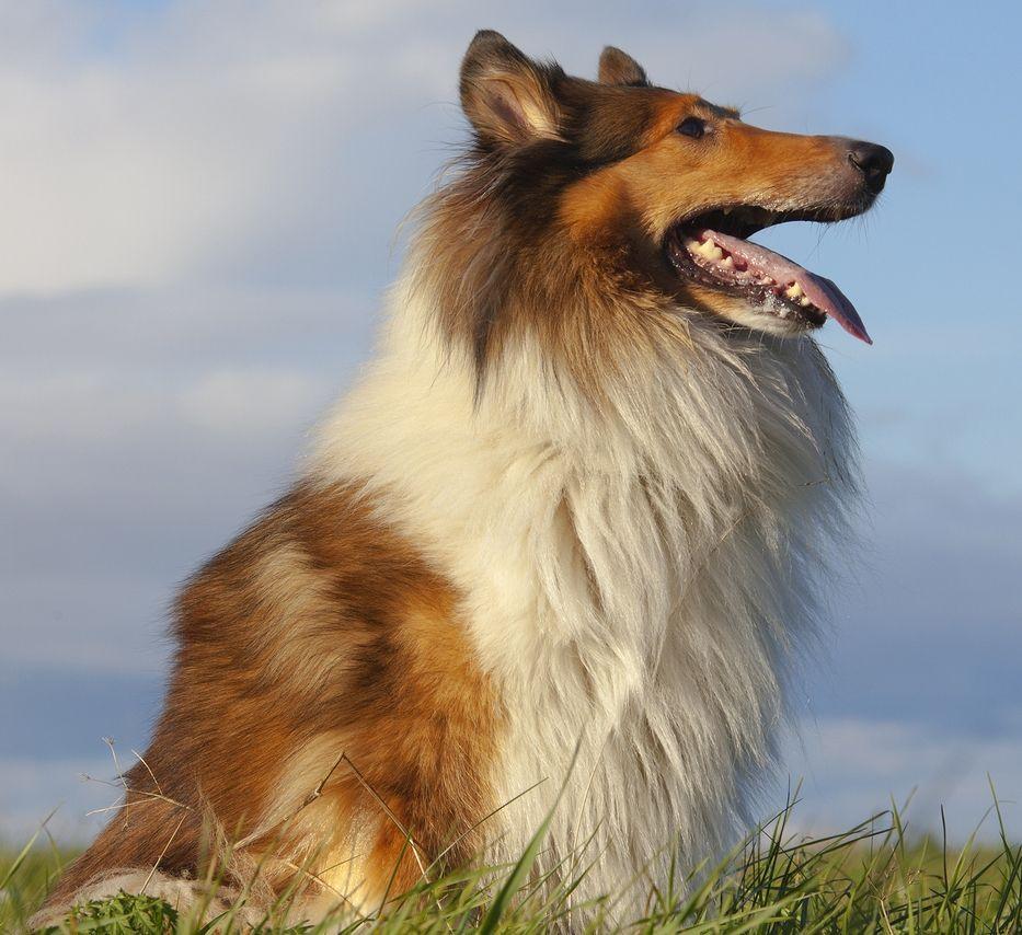 Rough Collie Dog Breed Information Rough Collie Dog Breeds