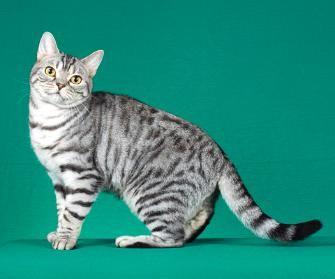 Silver Mackerel Tabby American Shorthair   Creatures ...