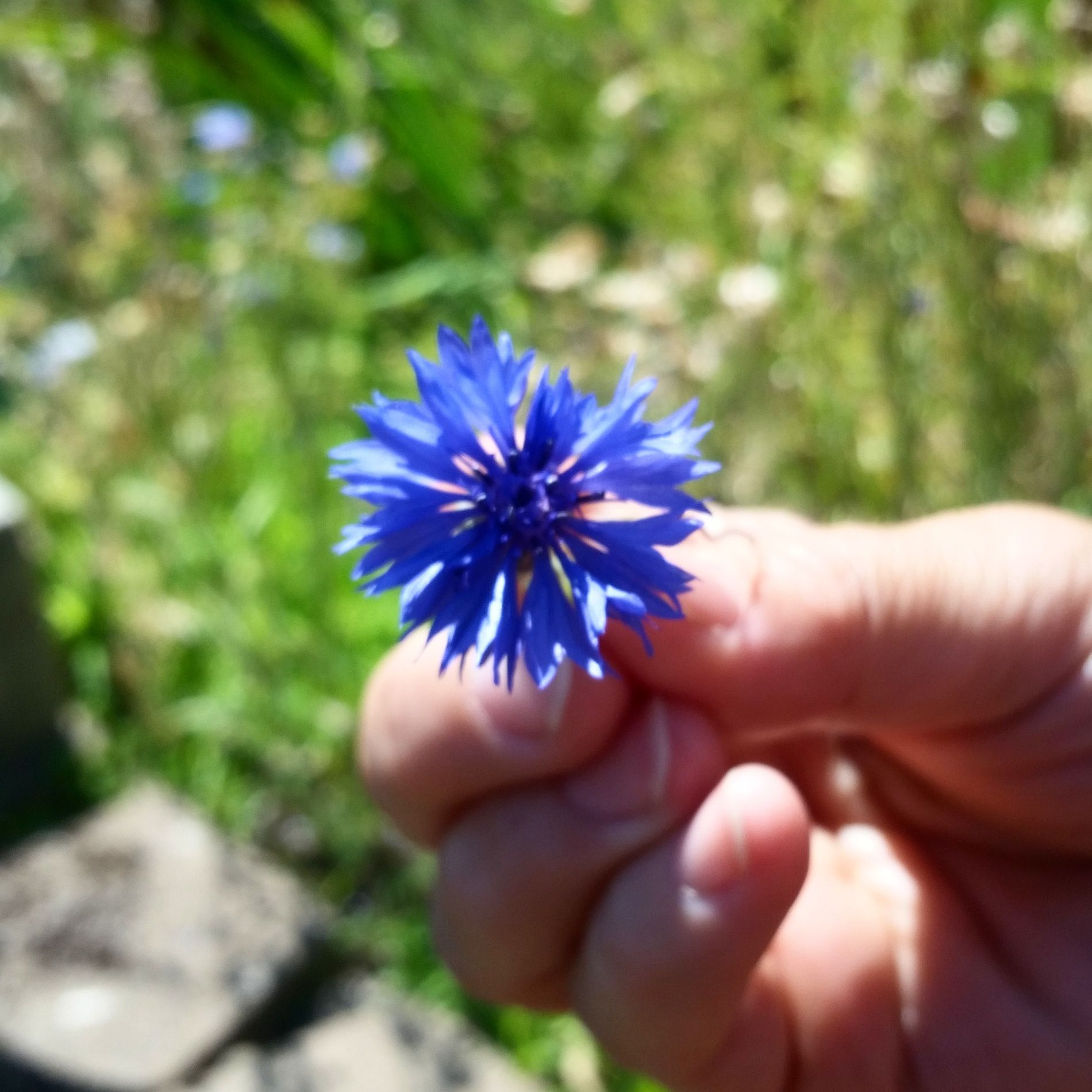 Blue bachelor button flower and the story on how i came to learn the