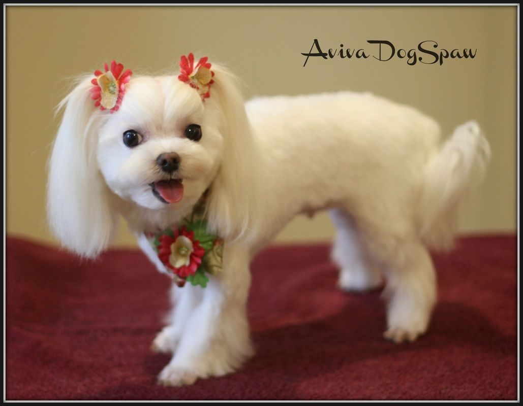 Asian Fusion Styled Maltese Dog Groomer In Coquitlam Dog