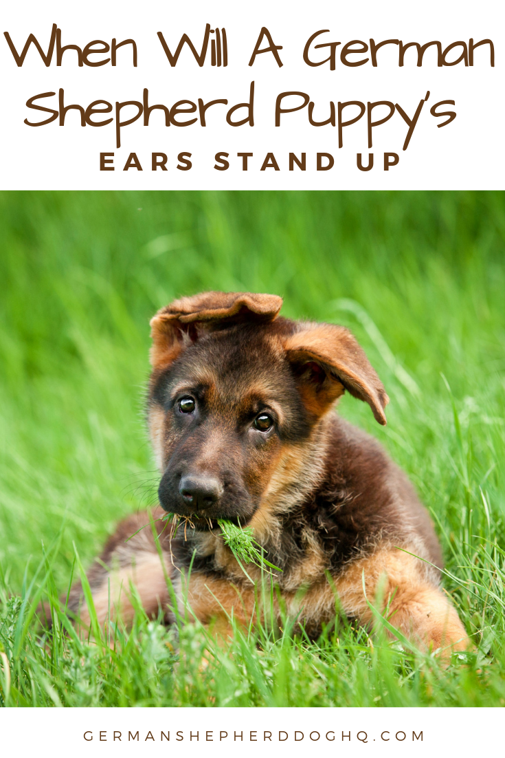 German Shepherd Puppy Ear Stages (With images) German