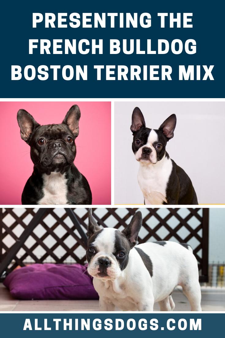 French Bulldog Boston Terrier Mix In 2020 Frenchton Dog French Bulldog Terrier Mix