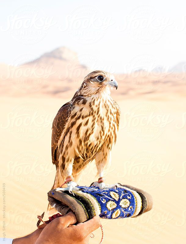 Arabian man in the desert with falcon  Dubai  U A E // by