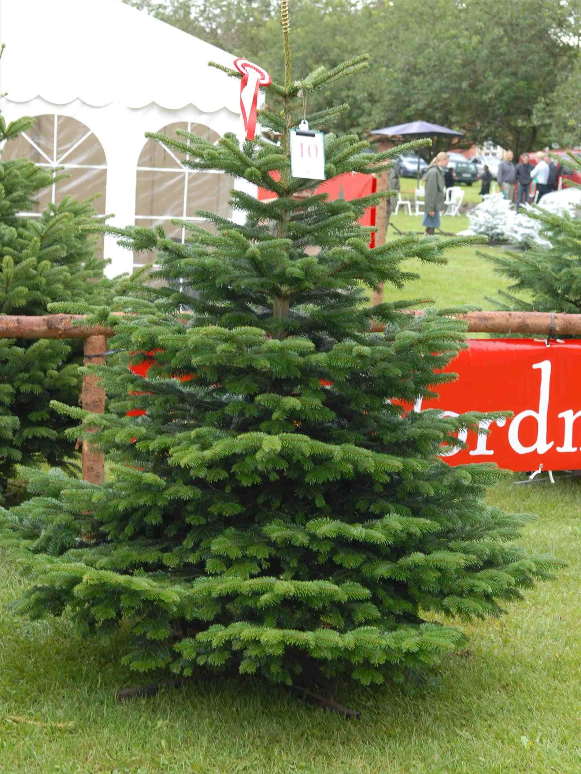 Image result for nordmann fir christmas tree | Christmas Crafts ...