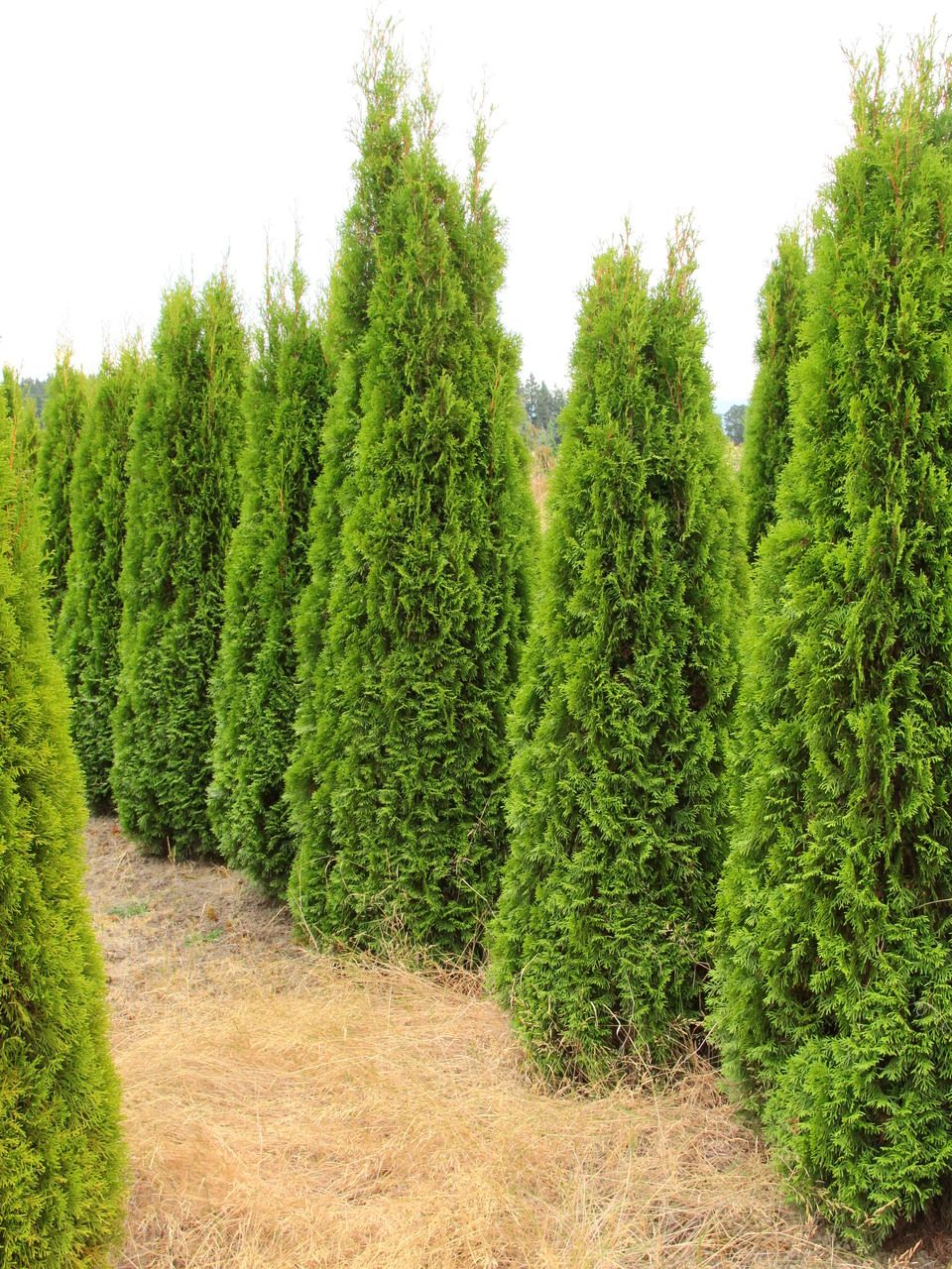 Thuja Occidentalis Smaragd Emerald Green Arborvitae Instanthedge 10 Linear Feet Emerald Green Arborvitae Thuja Occidentalis Arborvitae