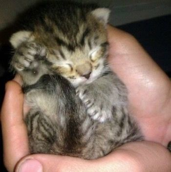 OMG! This tiny polydactyl kitten is completely adorable!