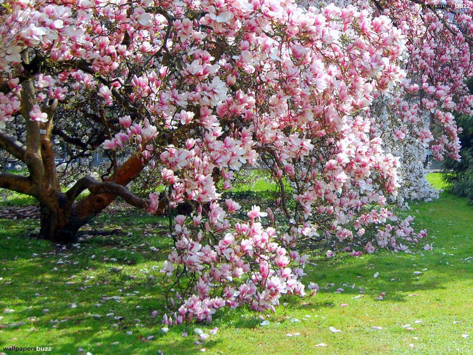 Trees Very Beautiful Blossoming Magnolia Trees With Small Pink