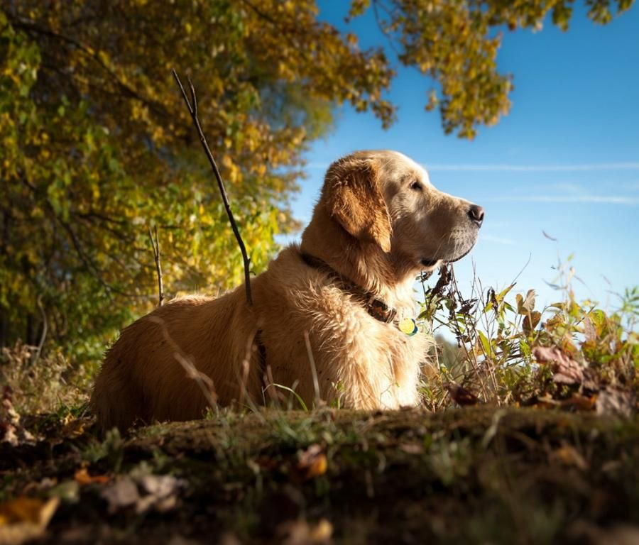 Cute Puppy Waiting Owner Desktop Background Golden Retriever