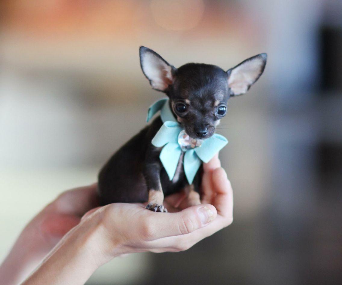 Chihuahua baby | Chihuahuas | Chihuahua puppies, Teacup