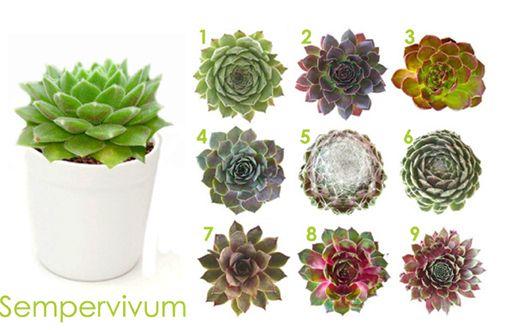 Plantas crasas sempervivum cactus y suculentas for Plantas crasas interior