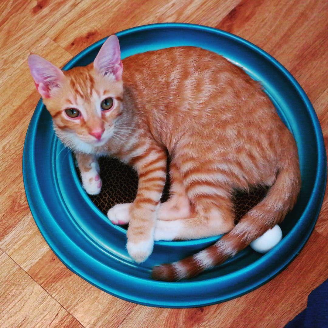 Somebody got a new toy!!!!#happykitty #mykitty #catsofinstagram #cute #tabby #kitten #kittensofinstagram #toy #purr #meow