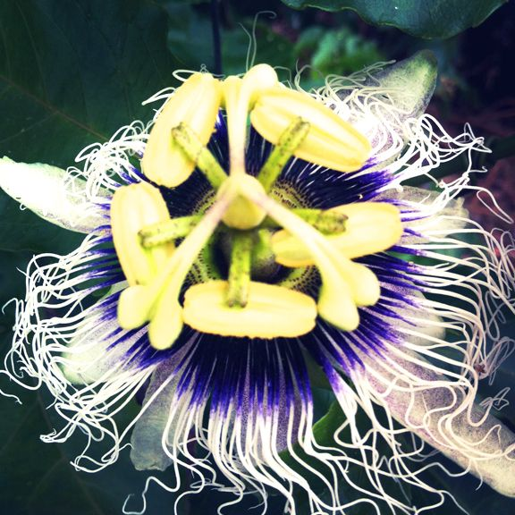 Passionflower... float a flower for and hour in water in the moonlight the water will help you sleep!