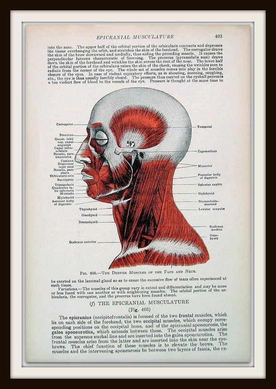 Human Anatomy Deeper Muscles Of The Face And Neck 1933 Human