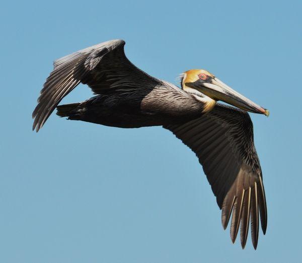 Indiana Backyard Birds   Brown Pelican Location Gulf Islands National  Seashore Ft Pickens .