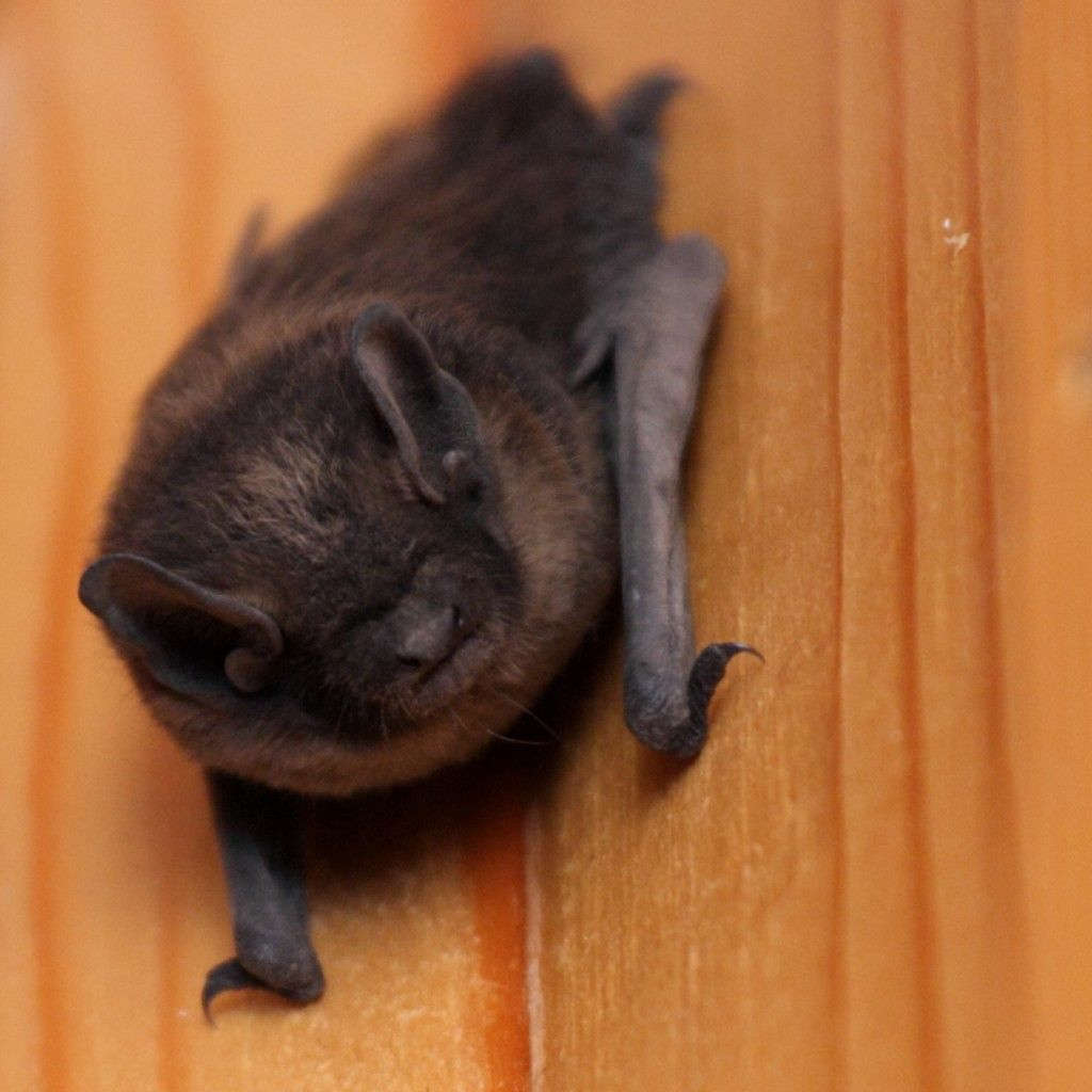 Bat in house what to do effective wildlife solutions