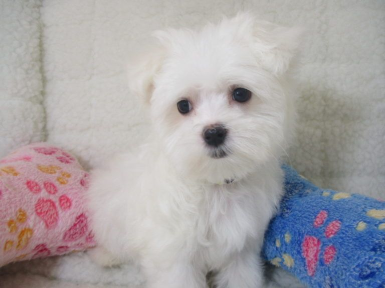 Maltese Puppies Puppies For Sale At Breeders Club Puppies For