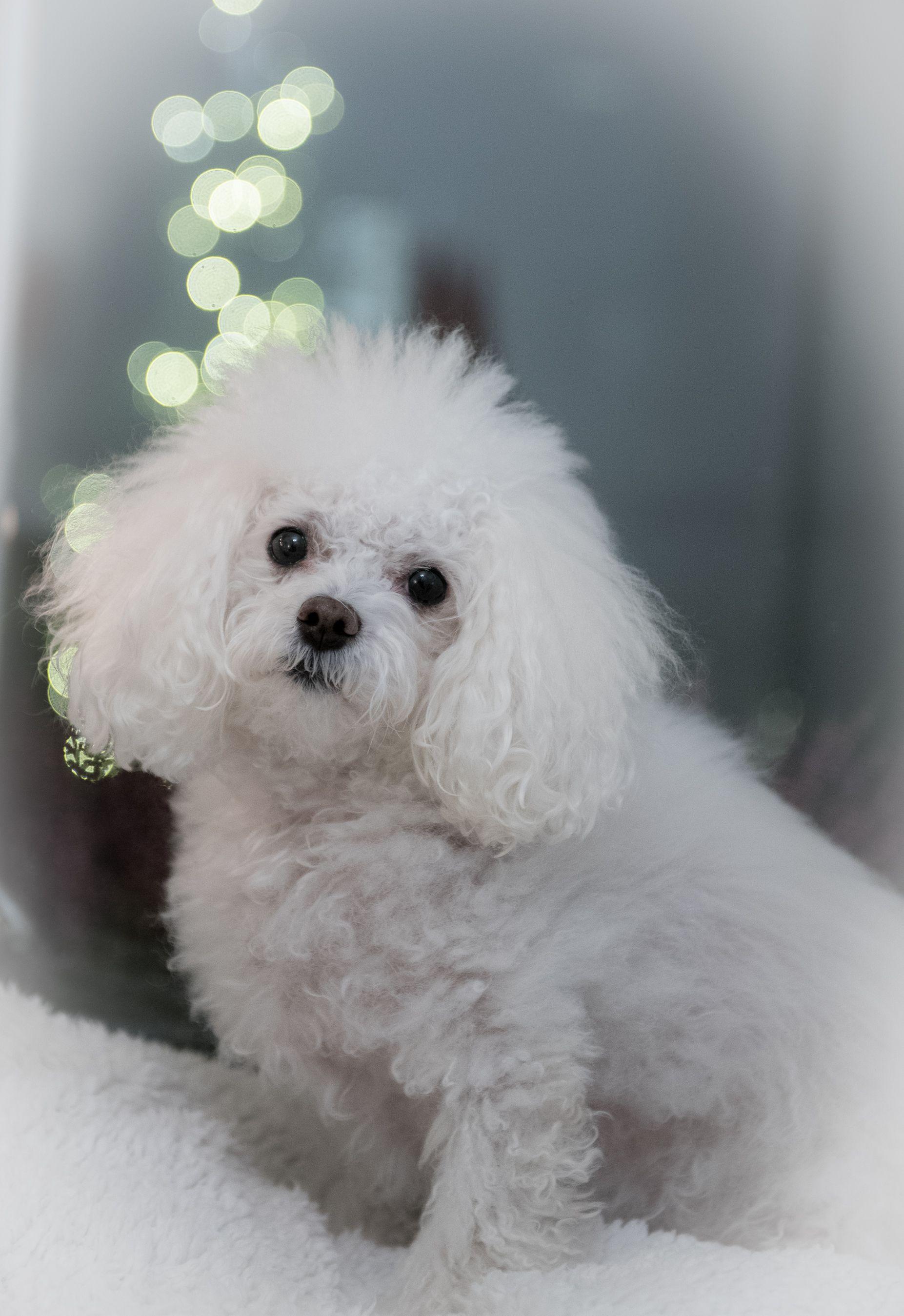 Pin By Mauno Pesonen On Bolognese Dog Pet Elaimet Ja Lemmikit Animals Pets Bolognese Dog