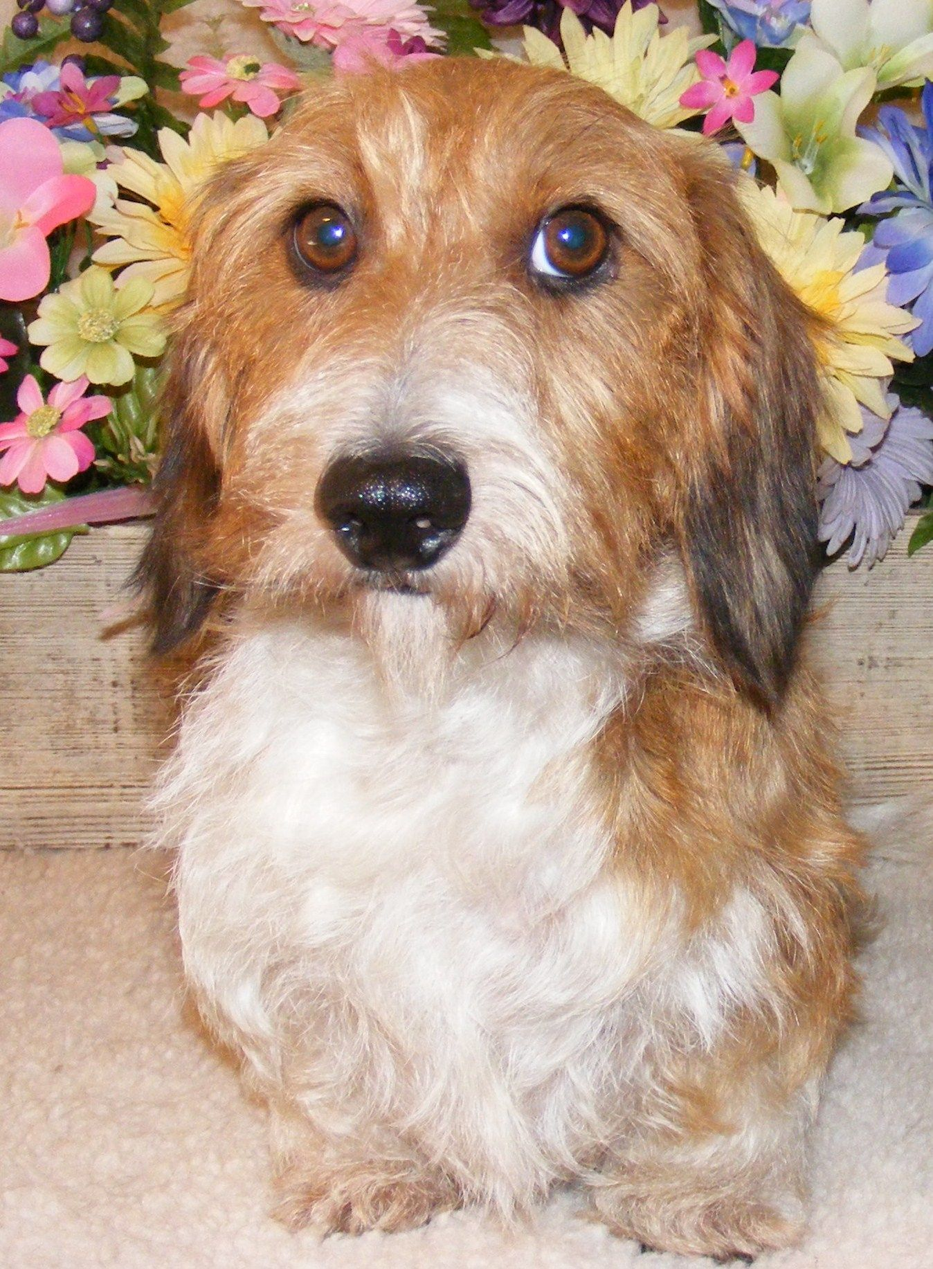 Dachshund puppies weatherlys dachshunds akc longhair