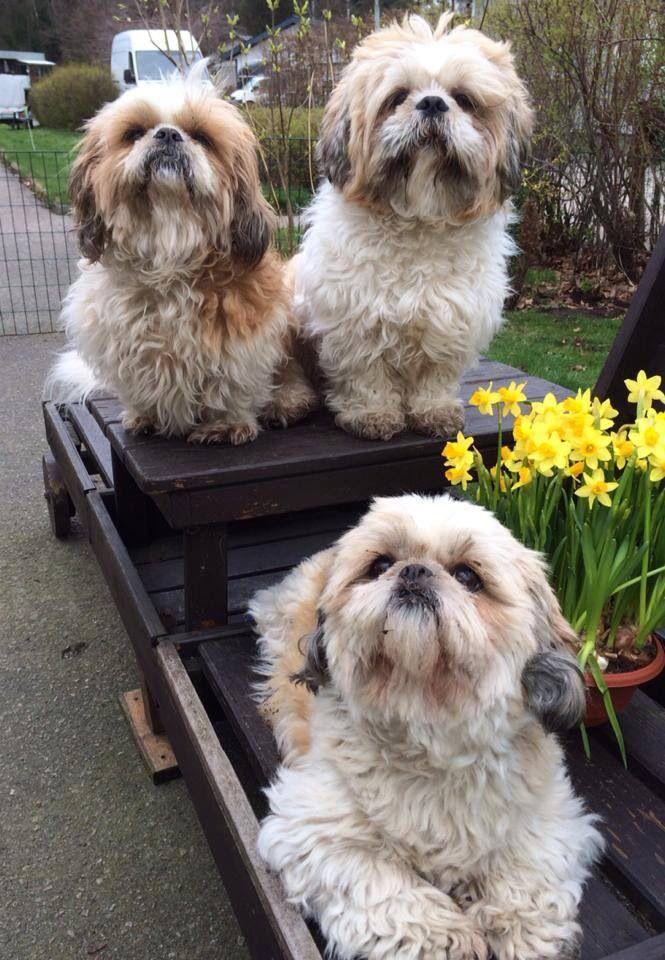 Happy Easter Shih Tzu Fans With Images Shih Tzu Shih Tzu Dog