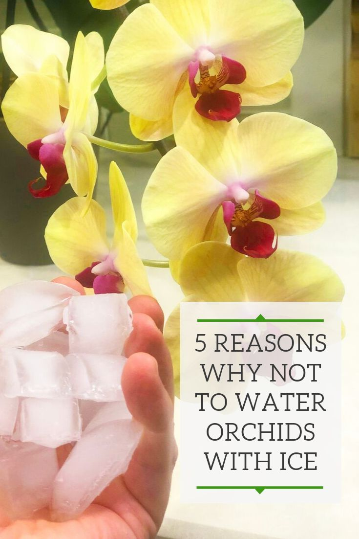 how to keep an orchid alive with ice cubes