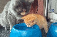 Part 1: Mom teaches kitten how to drink water from a bowl. http://themetapicture.com/cat-lessons-how-to-drink-water/