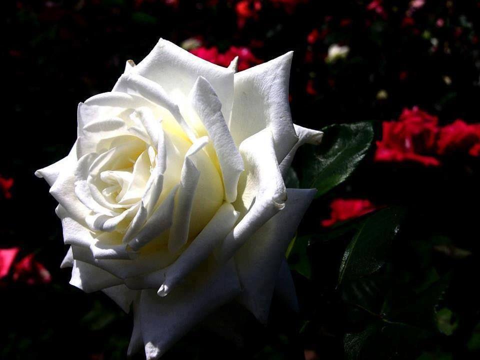 Картинка белая роза с надписью