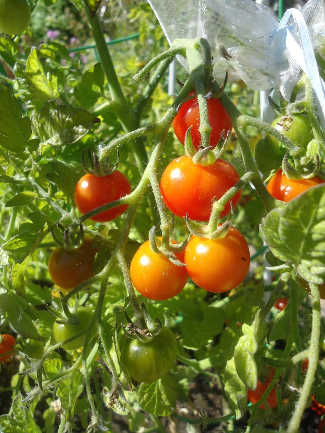 Best Tomato Peacevine Seeds For Sale This Red Cherry 640 x 480