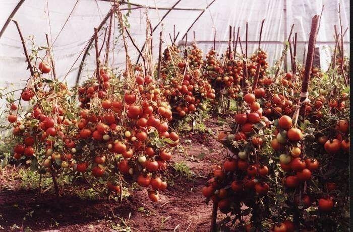 выращивание томатов   Выращивание помидоров, Садоводство, Огород